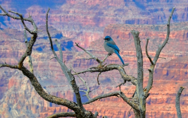 Grand Canyon bluebird